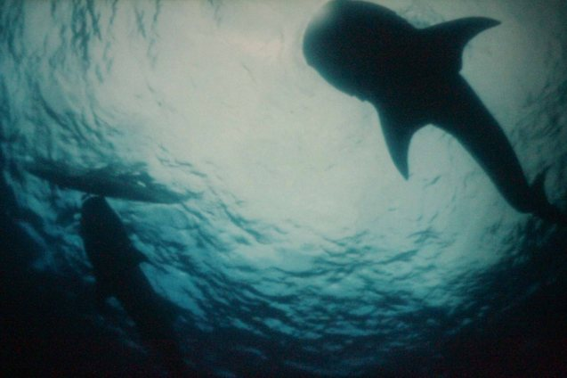 A placid whale shark (Butanding) swims by Nora Aunor (Shahela) and Bembol Roco's (Bangas An) boat in Brillante Medoza's award winning film THY WOMB.